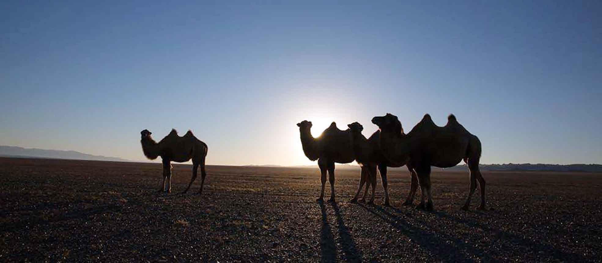 Тэмээн гөрөөс хэмээх зэрлэг ХАВТГАЙ байгаль дээр цөөрсөөр...