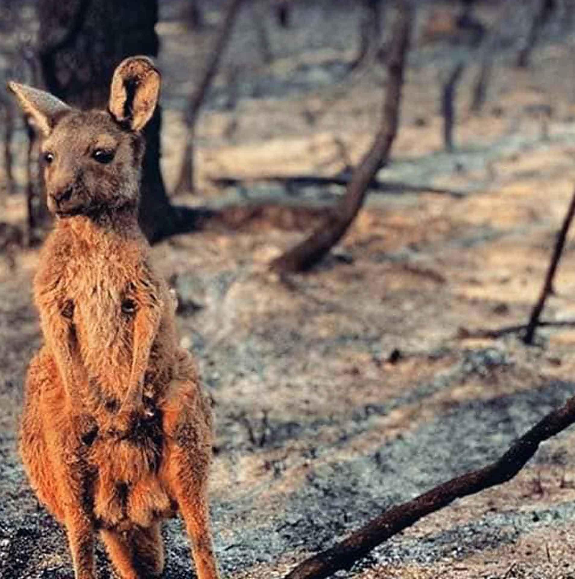 Австрали тивд хагас тэрбум ан амьтан үхээд байна